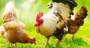 حرید ارزان ترین کود مرغی پلت شده