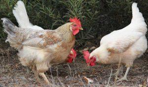 کود مرغی پلیت مشهد